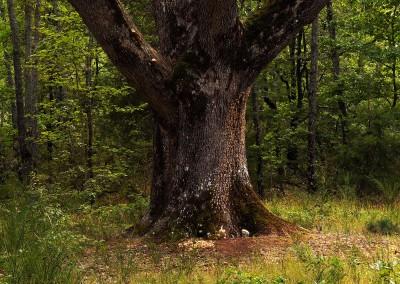Silex sur tronc de chêne, 2009